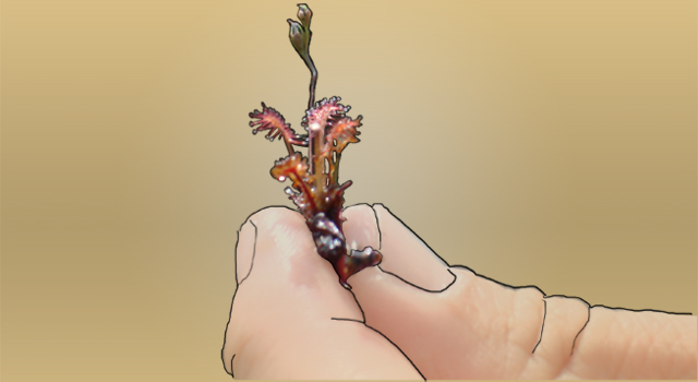 Sundew, Carnivorous Plant